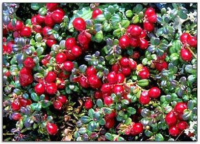 2 cranberrystruik