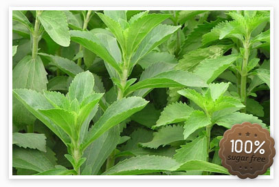 5 stevia plantje sugar free mooi